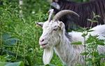 Гороскоп на январь 2020 год коза (овца)