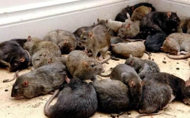 Видел во сне много крыс к чему: какое толкование