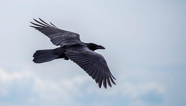 К чему снится черный ворон: толкование сна по различным сонникам