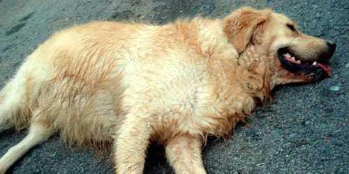 К чему снится мертвая собака: подробный разбор сновидения