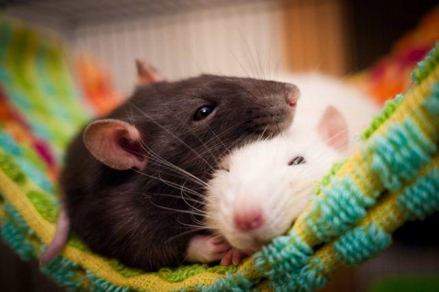 Что значит увидеть во сне крысу живую к чему: как трактуют сонники