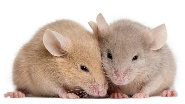 Что значит если вы увидели во сне много мышей к чему: к чему такой сон