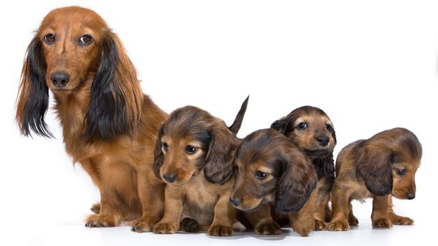 Увидеть во сне собаку маленькую: трактование в сонниках