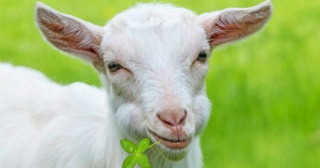 1991 год по восточному календарю: год Металлической Козы (Овцы)